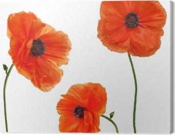Set of single poppy flowers isolated on white background. Canvas Print