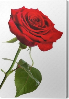 Single red rose, isolated on a white background Canvas Print
