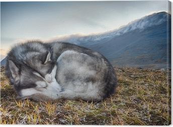 sleeping Siberian Husky in the mountains Canvas Print