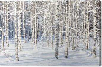 Snowy birch trunks Canvas Print
