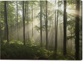Spring beech forest after a few days of rain in a foggy morning Canvas Print