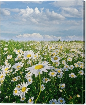 Springtime: field of daisy flowers with blue sky and clouds Canvas Print