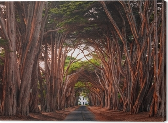 Stunning Cypress Tree Tunnel at Point Reyes National Seashore, California, United States. Trees colored red by the light of the setting sun. Canvas Print