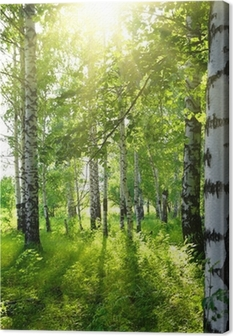 summer birch woods with sun Canvas Print