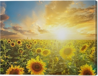 Summer landscape: beauty sunset over sunflowers field Canvas Print