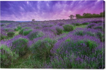 Sunset over a summer lavender field in Tihany, Hungary Canvas Print