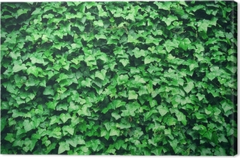 Thick green ivy leaves background Canvas Print