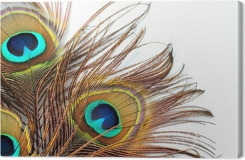 Three peacock feathers Canvas Print