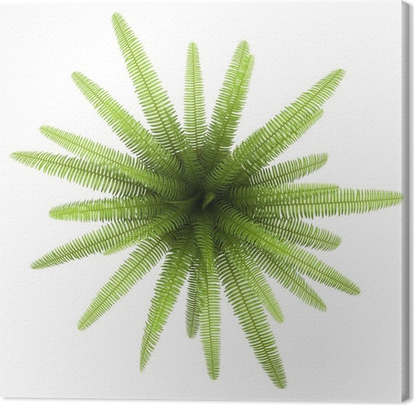 Top View Of Fern Plant In Pot Isolated On White Background Canvas Print