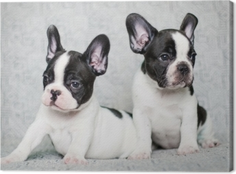 two french bulldog puppies Canvas Print