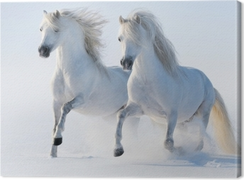 Two galloping snow-white horses Canvas Print