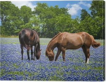 Two horses grazing in the bluebonnet pasture in Texas spring Canvas Print