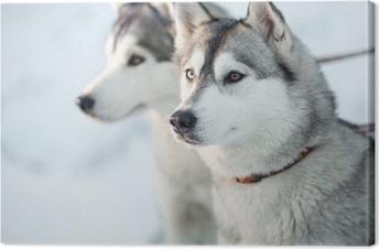 Two siberian husky dogs closeup portrait Canvas Print