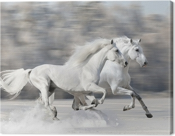 Two white horses in winter run gallop Canvas Print