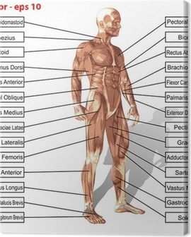 Vector human man anatomy with muscles text Canvas Print