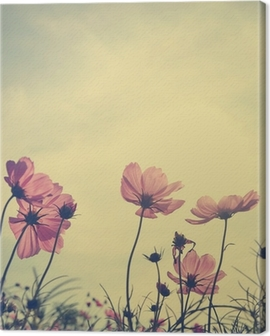 Vintage Cosmos flowers in sunset time Canvas Print