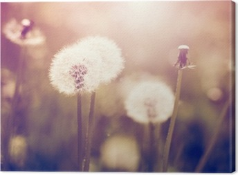 Vintage dandelions on a meadow Canvas Print