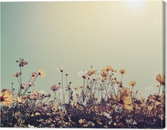Vintage landscape nature background of beautiful cosmos flower field on sky with sunlight. retro color tone filter effect Canvas Print