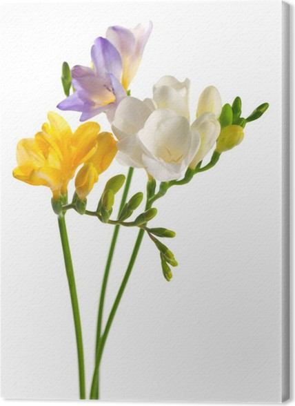 White and yellow and purple freesia flowers canvas print pixers white and yellow and purple freesia flowers canvas print mightylinksfo