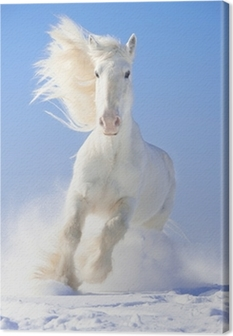 White horse stallion runs gallop in front focus Canvas Print