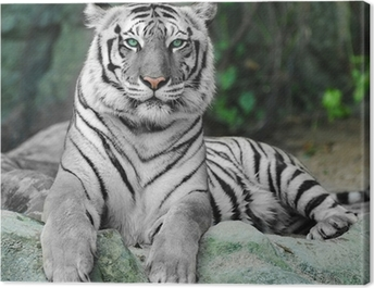 WHITE TIGER on a rock in zoo Canvas Print