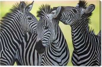 Zebras kissing and huddling Canvas Print