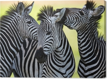 Zebras kissing and huddling Canvas Print