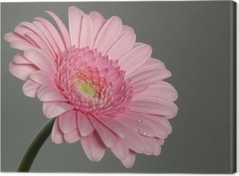 Canvas Roze gerbera daisy met ochtenddauw