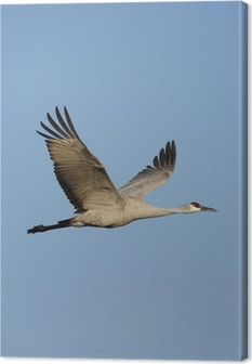 Canvas Sandhill Kraanvogel (Grus canadensis)