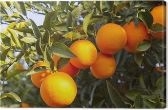 Canvas Valencia sinaasappelbomen