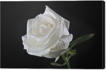 Canvas White Rose