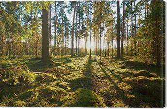 Canvas Zonsopkomst in een dennenbos