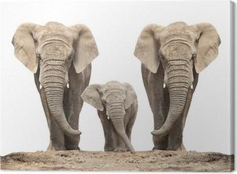 Canvastavla Afrikansk elefant (Loxodonta africana) familj på en vit.
