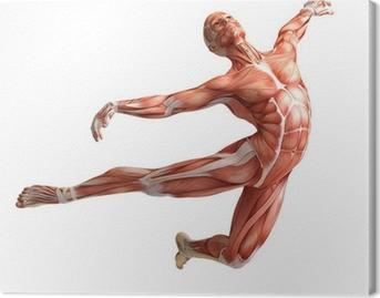 Canvastavla Anatomi, muskler