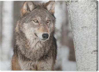 Canvastavla Grå varg (Canis lupus) Av Birch Tree