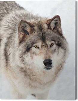 Canvastavla Gray Wolf i Snow Tittar upp på kameran