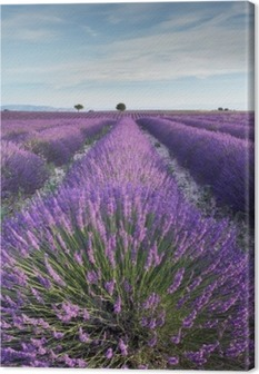 Canvastavla Lavendel fält i Provence under tidigt på morgonen
