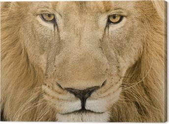Canvastavla Närbild på ett lejonhuvud (4 och ett halvt år) - Panthera leo