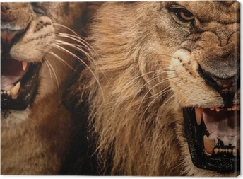Canvastavla Närbild skott av två rytande lejon