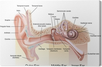 Canvastavla Örats anatomi
