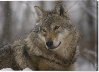 Canvastavla Porträtt av en europeisk grå varg (Canis lupus lupus)