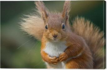 Canvastavla Red Squirrel ser så söt