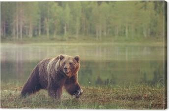 Canvastavla Stor male björn gå i mossen vid solnedgången