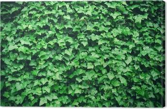 Canvastavla Tjock grön murgröna blad bakgrund
