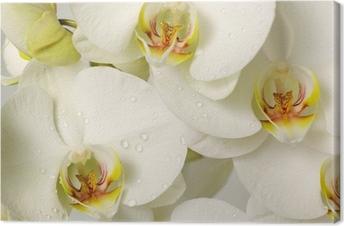 Canvastavla Vita orkidéer