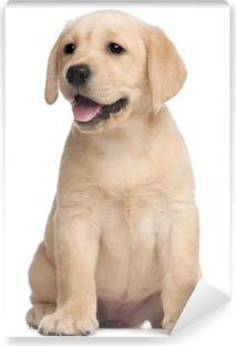 Carta da Parati in Vinile Cucciolo di Labrador, 7 settimane di vita, di fronte a sfondo bianco