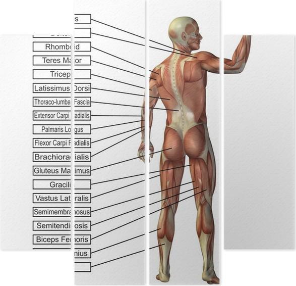 Cuadríptico Conceptual de alta resolución 3D de la anatomía humana y ...
