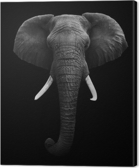 Cuadro en Lienzo African Elephant - Aislado