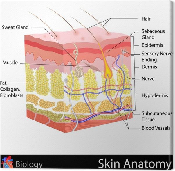 Cuadro en Lienzo Anatomía de la piel • Pixers® - Vivimos para cambiar