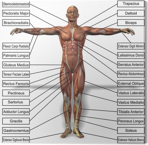 Cuadro en Lienzo Anatomía del hombre humano 3D con texto músculos ...